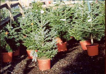 Christmas Tree Farm Potted Christmas Trees Amersham Chalfont