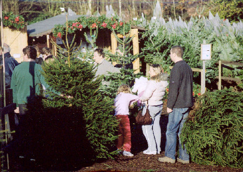 Christmas Trees At Our Christmas Tree Farm Chesham Near Watford