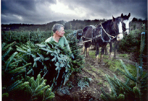 Shire horses and Christmas Trees