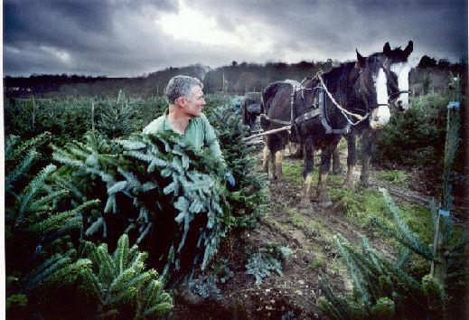 Shire Horses Working Shire Horses Christmas Tree Farm