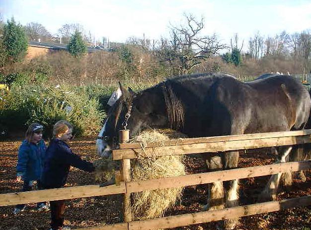 Shire Horses At Rest At Christmas Tree Farm Chesham