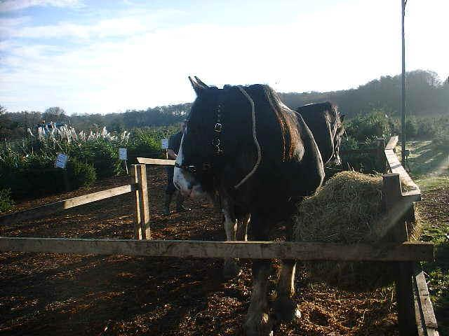 Shire Horses At Rest, Christmas Tree Farm, Chesham, Watford