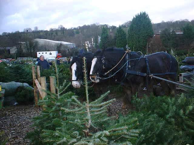 Shire Horses At Work At Christmas Tree Farm, Chesham