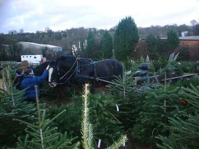 Shire Horses Meet Christmas Tree Customers, Chalfont