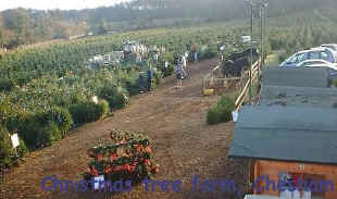 Photograph of our Christmas tree farm sales site close to High Wycombe