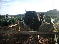 Shire horses and Christmas trees for sale